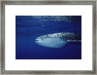 Whale Shark Portrait Cocos Isl Costa Framed Print
