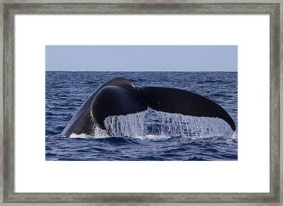 Whaletail Framed Print by David Otter