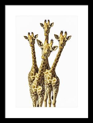 Giraffe Photographs Framed Prints