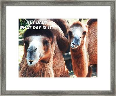 Camel What Day Is It? Framed Print by Belinda Lee
