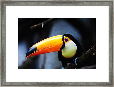 What Did You Say ? Toco Toucan Framed Print by Jenny Rainbow