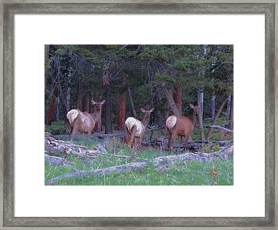 Elk In Rocky Mountain National Park Framed Print by Dan Sproul