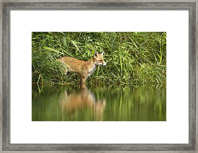 What Does The Fox See Framed Print by Roeselien Raimond