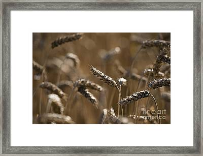 Wheat Framed Print by Anne Gilbert