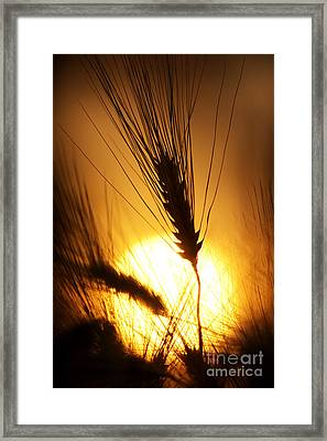 Wheat At Sunset Silhouette Framed Print
