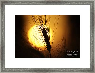 Wheat At Sunset  Framed Print