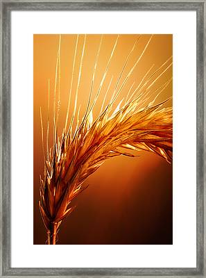 Wheat Close-up Framed Print by Johan Swanepoel
