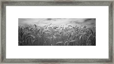 Wheat Crop Growing In A Field, Palouse Framed Print by Panoramic Images