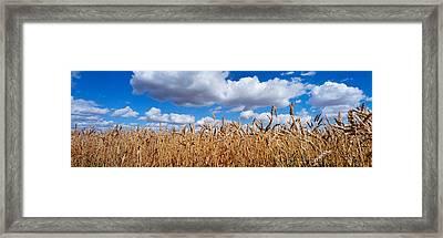 Wheat Crop Growing In A Field Framed Print