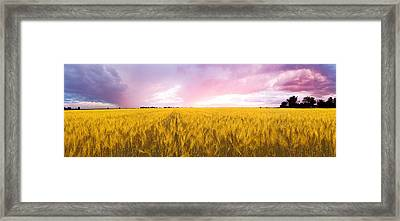 Wheat Crop In A Field Framed Print