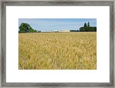 Wheat Field In The Willamette Valley Framed Print