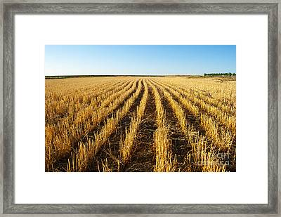 Wheat Field Framed Print by Juli Scalzi