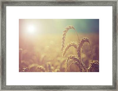 Wheat Growing In The Sunlight Framed Print