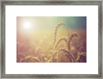 Wheat Growing In The Sunlight Framed Print by Wladimir Bulgar