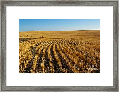 Wheat Rows Framed Print by Juli Scalzi