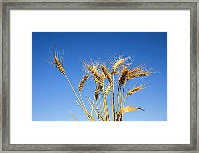 Wheat Stalks Framed Print by Photostock-israel