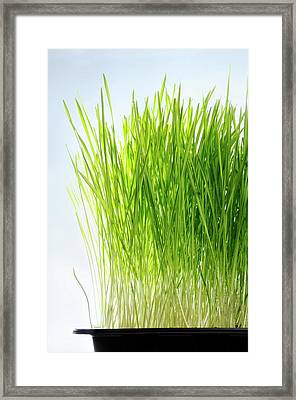 Wheatgrass Growing In A Tray Framed Print by Cordelia Molloy