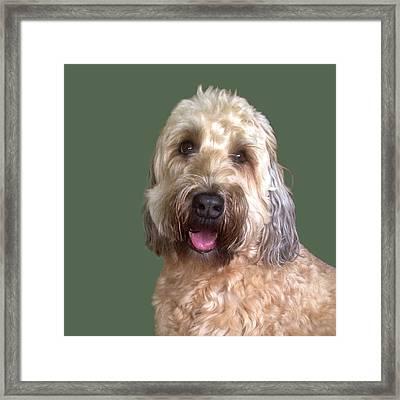 Framed Print featuring the photograph Wheaton Terrier by Karen Zuk Rosenblatt