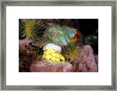 Whelk Neptunea Lyrata Decemcostata Framed Print by Andrew J. Martinez