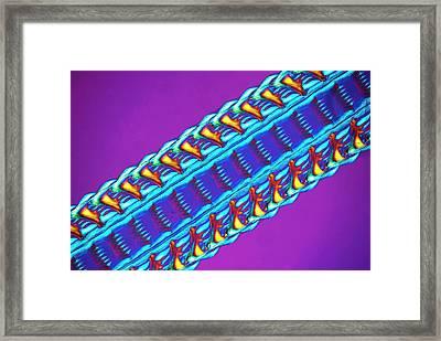 Whelk Radula Framed Print by Steve Lowry