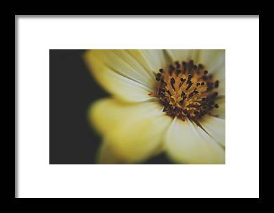 African Daisy Framed Prints