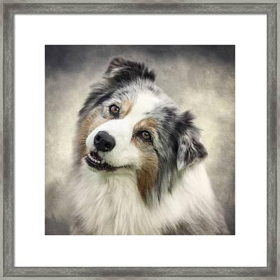 Australian Shepherd Portrait Framed Print by Wolf Shadow  Photography