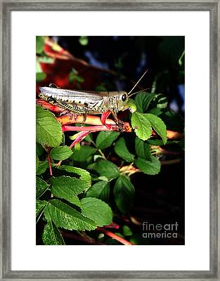 Grasshopper - Close Up Framed Print