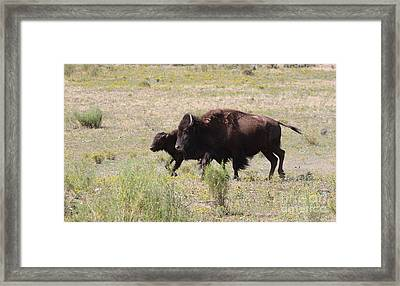 Where The Bison Roam Framed Print by Ruth Jolly