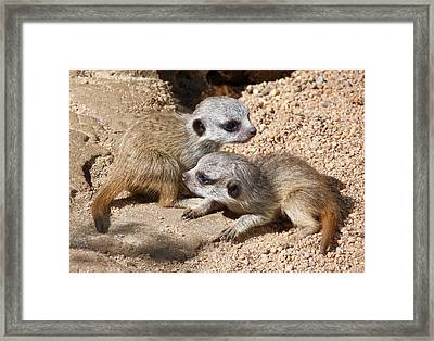 Which Way Now - Baby Meerkats Framed Print by Margaret Saheed