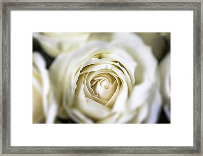 Whie Rose Softly Framed Print