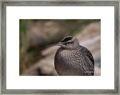 Framed Print featuring the photograph Whimbrel by Bianca Nadeau