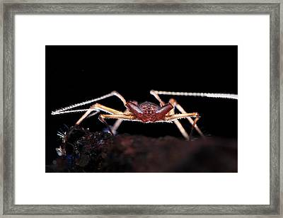 Whip Spider Framed Print by Melvyn Yeo