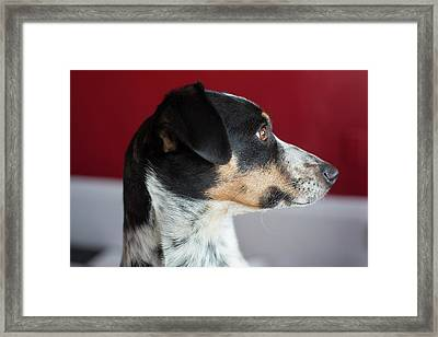 Whippet-jack Russell Terrier Cross-breed Framed Print by Jim West