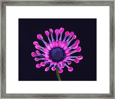 Whirligig Pink II Framed Print by Bijan Pirnia