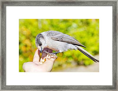 Whiskey Jack Or Gray Jay Eating Nuts From A Hand Framed Print