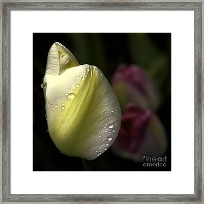 Whispering Tulips Framed Print by Jean OKeeffe Macro Abundance Art
