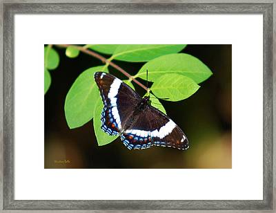 White Admiral Butterfly Framed Print by Christina Rollo