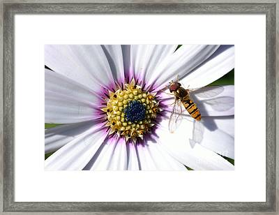 Framed Print featuring the photograph White African Daisy Marmalade Fly by Scott Lyons