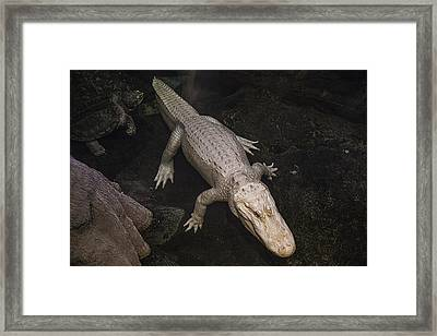 White Alligator Framed Print