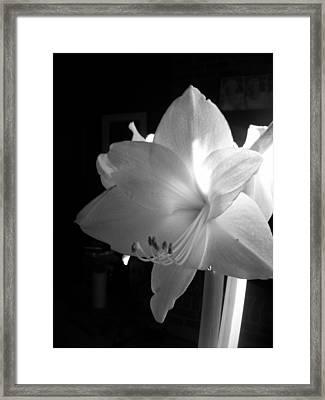 White Amaryllis  Framed Print by Patricia Greer