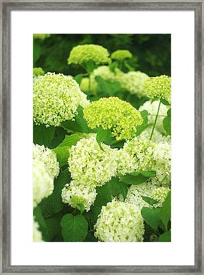 Framed Print featuring the photograph White And Green Hydrangea Flowers by Suzanne Powers