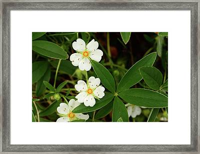 White And Orange Flowers, And Palmate Framed Print by Darlyne A. Murawski