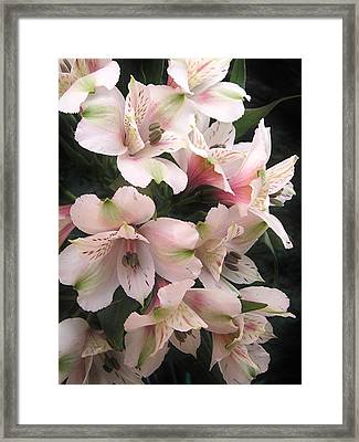 Framed Print featuring the photograph White And Pink Peruvian Lilies by Diane Alexander