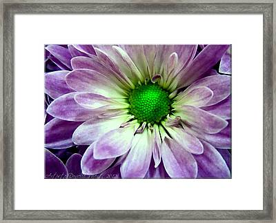 White And Purple Daisy Framed Print by Danielle  Parent