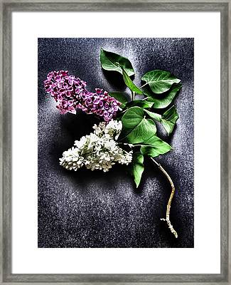 White And Purple Lilacs Framed Print by Marianna Mills