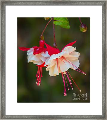 White And Red Fuchsia Framed Print