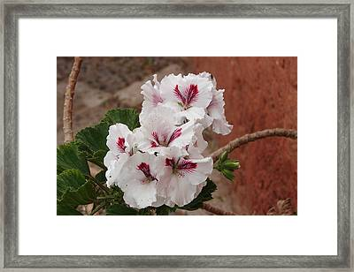 Framed Print featuring the photograph White And Red Geraniums by Lew Davis