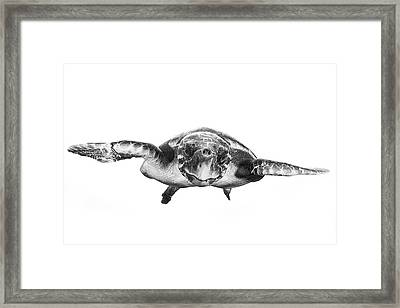 White And Turtle Framed Print