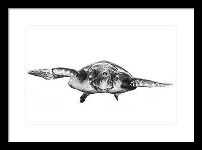 Hawksbill Sea Turtle Framed Prints
