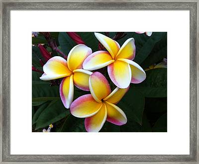 White And Yellow Plumeria Framed Print